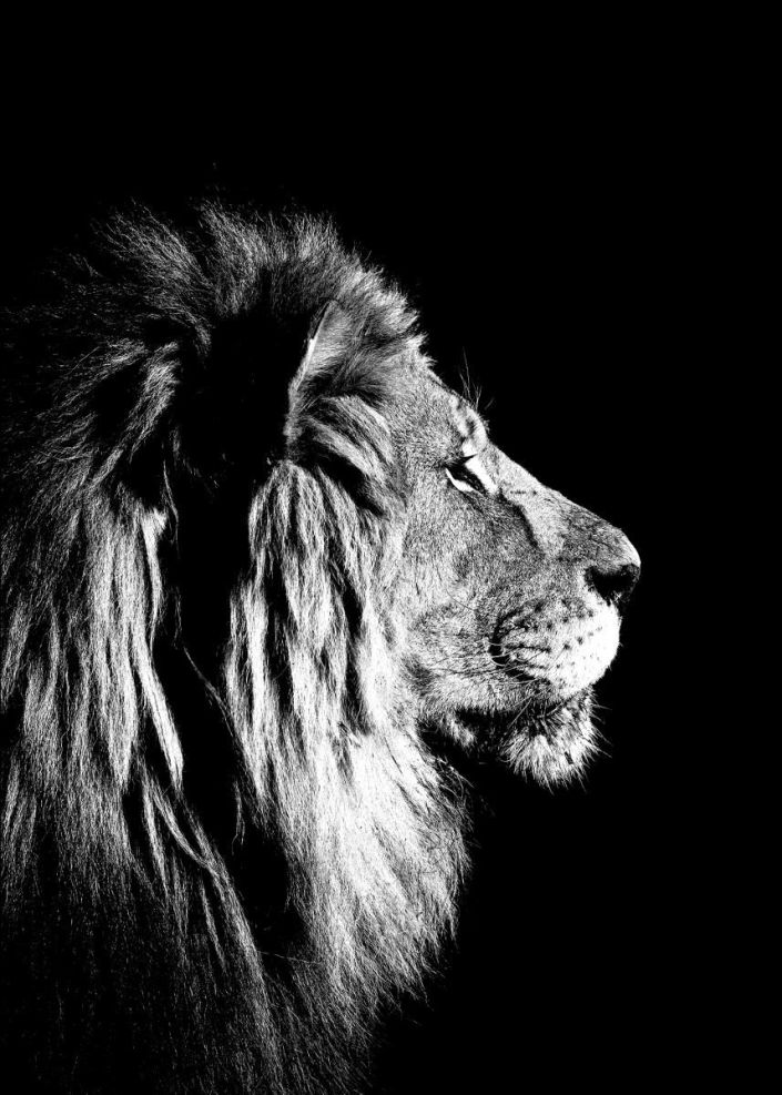 lion-black-and-white-50x70_3a189