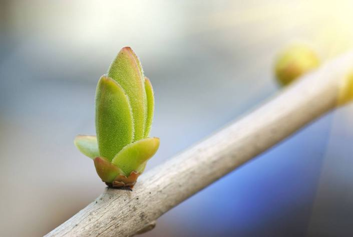 Budding-Branch