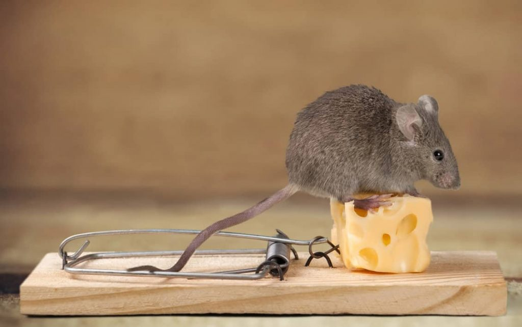 best-bait-for-mouse-trap-1024x642